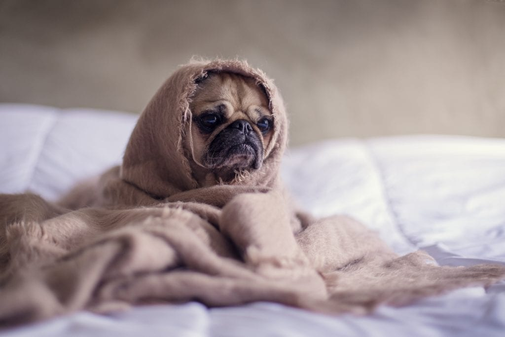 dog wrapped up in a blanket taking a sick day off work