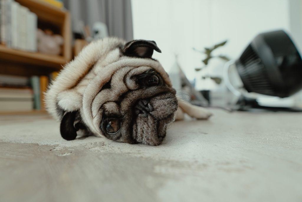 A pug laying on the floor looking sad